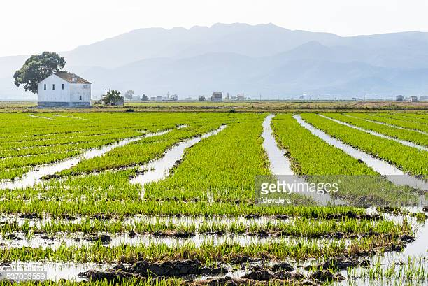spain, catalonia, tarragona, amposta, ebro delta national park, rice field with mountain range on background - delta del ebro fotografías e imágenes de stock