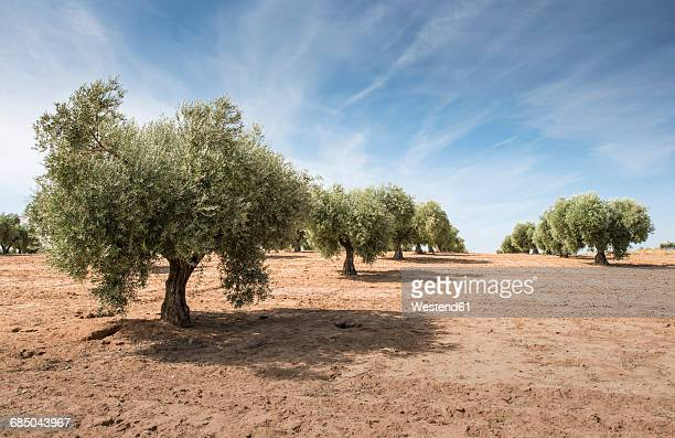 spain, ciudad real, olive tree plantation - olive orchard stock photos and pictures
