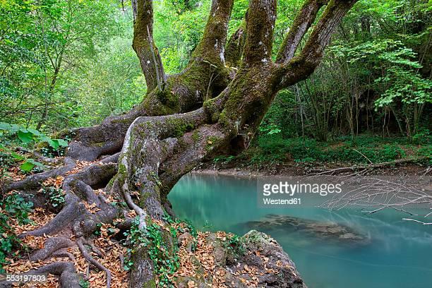 spain, cuenca, hoz de beteta, trees at guadiwla river - cuenca provincia de cuenca fotografías e imágenes de stock