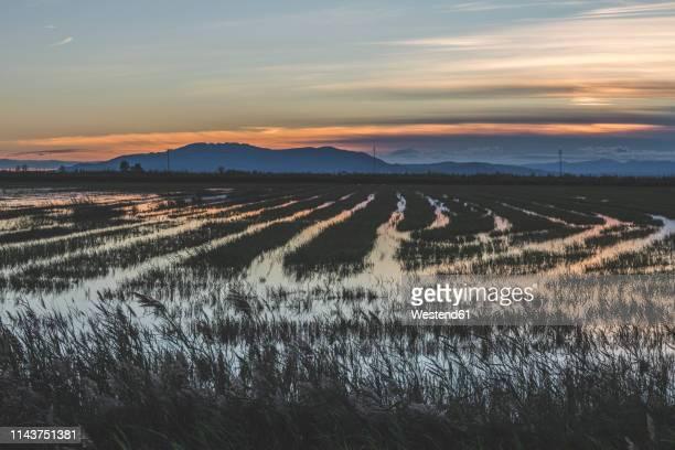 spain, ebro delta, rice paddies at sunset - delta del ebro fotografías e imágenes de stock