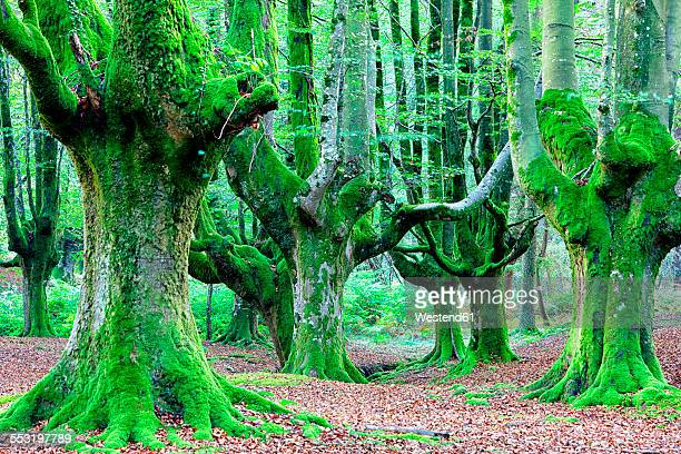 Spain, Gorbea Natural Park, Beech forest
