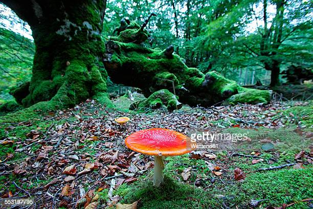 Spain, Gorbea Natural Park, Fly agaric in beech forest
