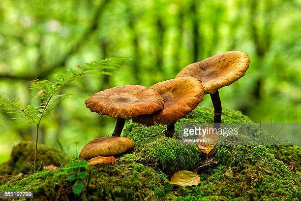 Spain, Gorbea Natural Park, Mushrooms growing in beech forest
