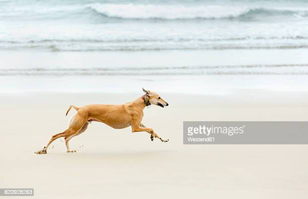 Spain, Llanes, greyhound running on the beach