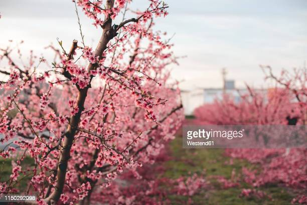 spain, lleida, peach blossom - peach blossom stock pictures, royalty-free photos & images