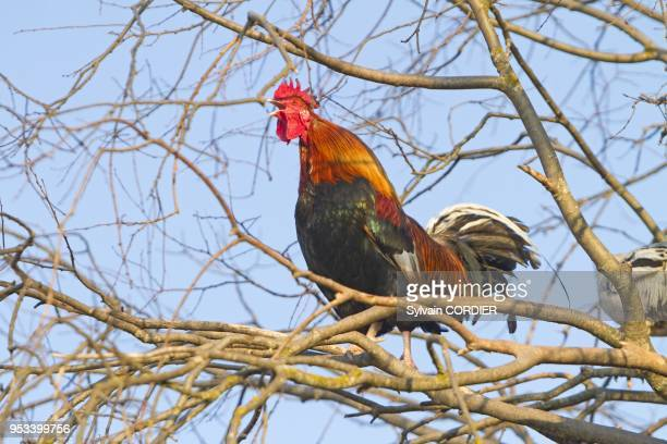 Spain Lleida Province Montsonis Cock in the tree
