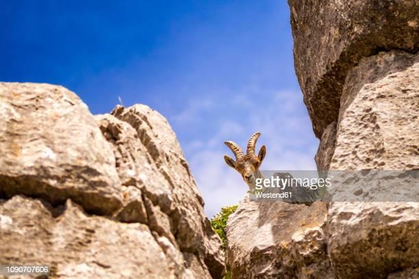 spain, malaga province, el torcal, spanish wild goat - paraje natural torcal de antequera fotografías e imágenes de stock