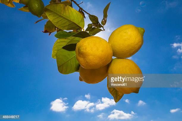 Spain, Mallorca, Lemon against blue sky