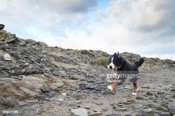 Spain, Menorca, Portrait of a bernese mountain dog running fast outdoors