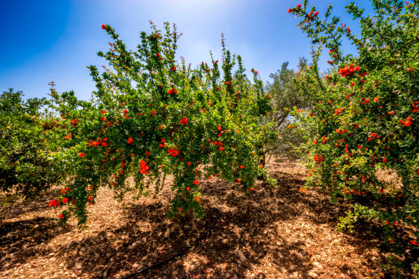 spain, mondron, blossoming pomegranate trees in orchard - pomegranate tree stock photos and pictures