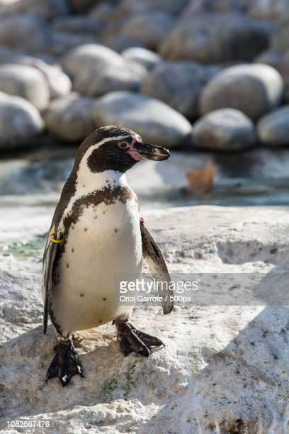 spain - galapagos penguin stock pictures, royalty-free photos & images