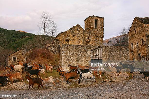 Spain, Province of Huesca, goats running in a mountain village