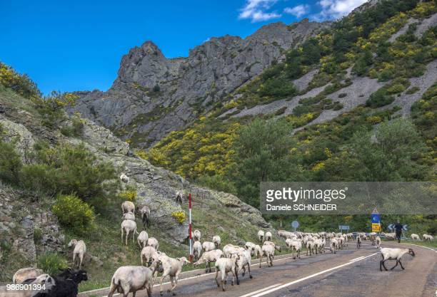 spain, province of león, transhumance in portilla de la reina, way of st james - レオン県 ストックフォトと画像