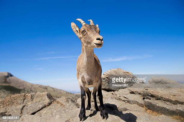 spain, sierra de gredos, western spanish ibex on a rock - ibex ストックフォトと画像
