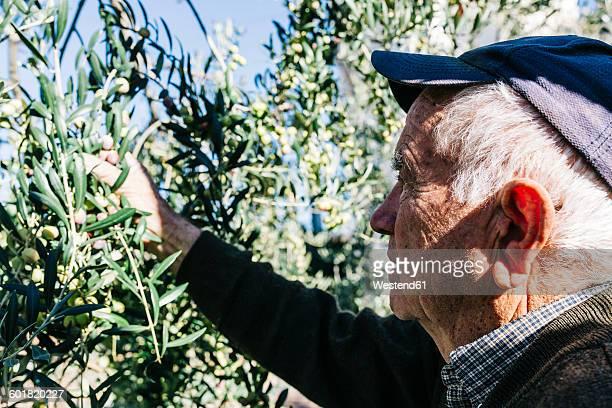 Spain, Tarragona, Senior man hand harvesting olives for oil