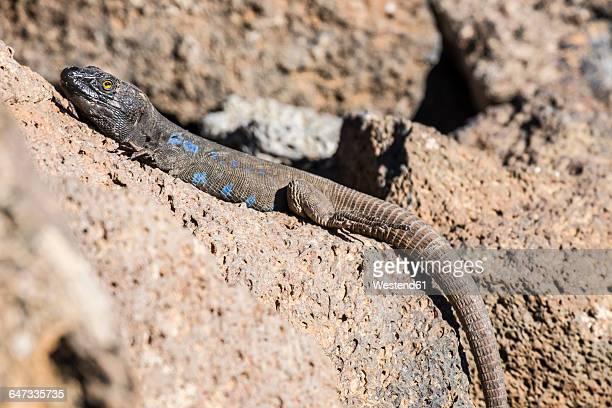 Spain, Tenerife, lizard on volcanic rock