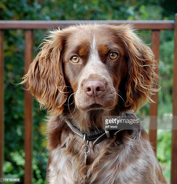 spaniel brittany spaniel - brittany spaniel stock pictures, royalty-free photos & images