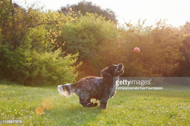 Spaniel chasing ball in park at sunset