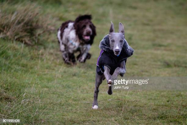 cockapoo spaniel chasing whippet towards camera