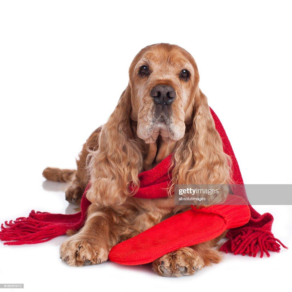 Spaniel dog with hot bottle and shawl isolated : Stock Photo
