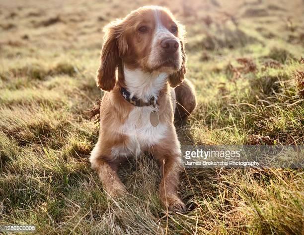 spaniel in grass - 訓練犬 ストックフォトと画像