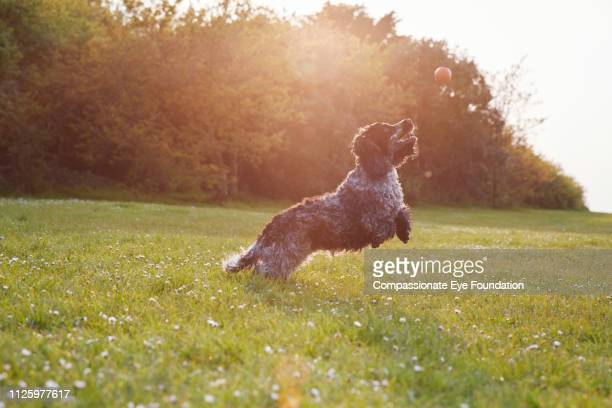 Spaniel jumping for ball in park at sunset