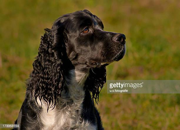 spaniel - springer spaniel stock pictures, royalty-free photos & images