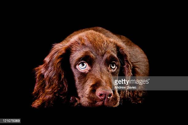 spaniel puppy - cocker spaniel stock pictures, royalty-free photos & images