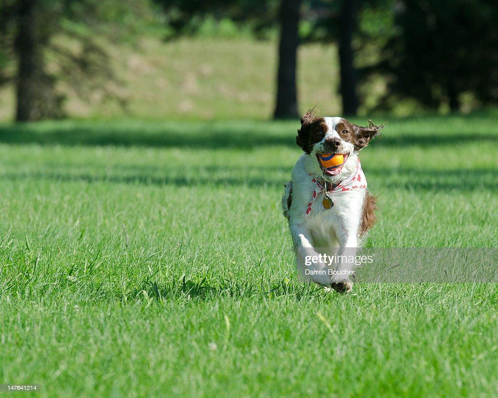 Spaniel running in park : Bildbanksbilder
