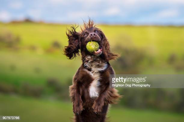 a spaniel running with a ball - spaniel stock photos and pictures