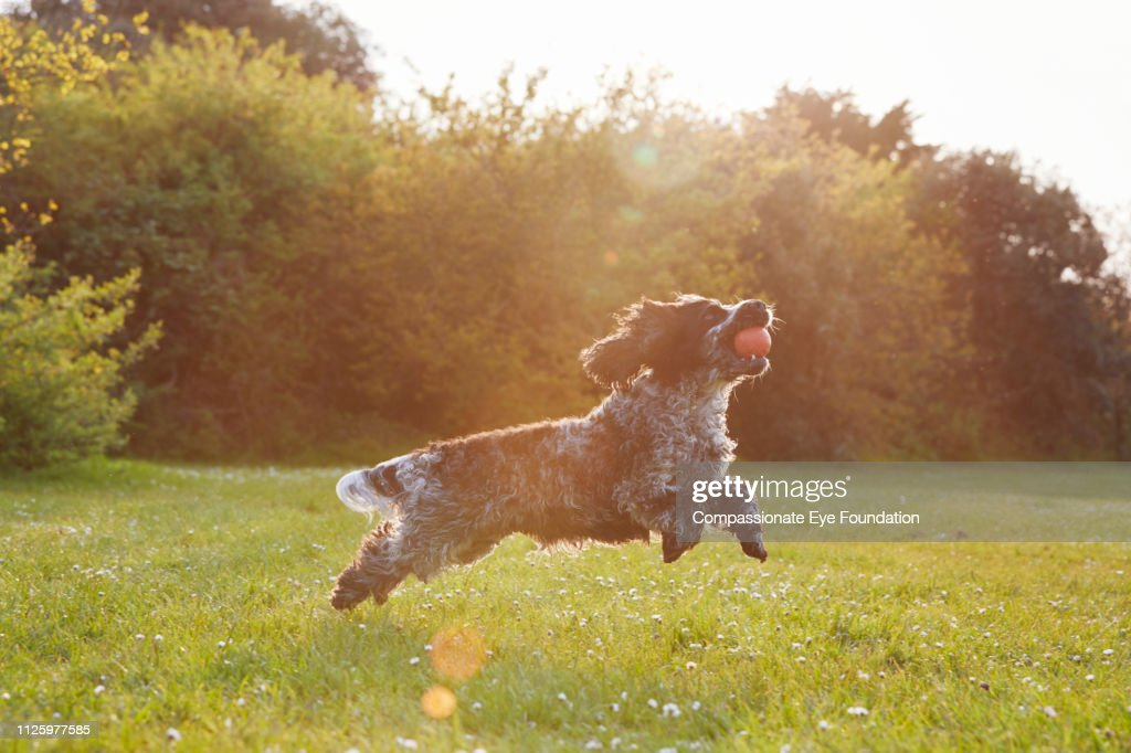 Spaniel running with ball in park at sunset : Stock Photo
