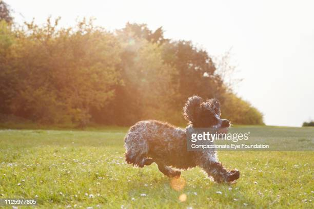 Spaniel running with ball in park at sunset