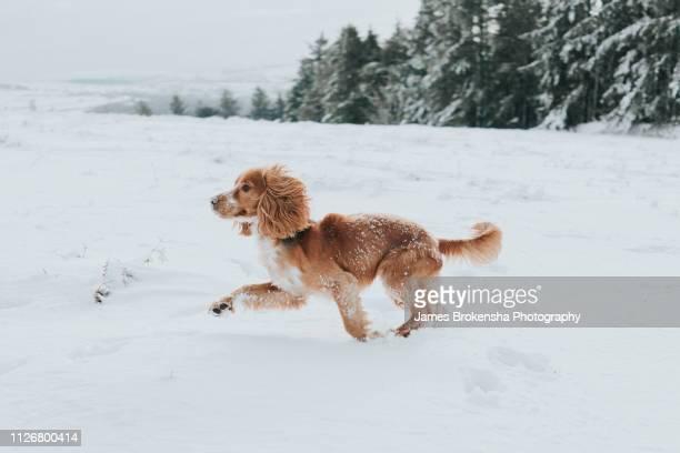 a spaniel runs in the snow - cocker spaniel foto e immagini stock