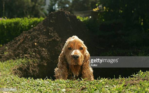 Spaniel sitting in hole dug in lawn