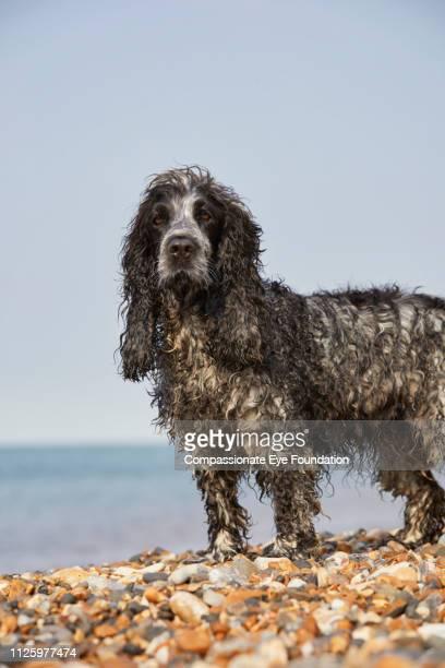 Spaniel standing on beach