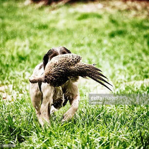 Spaniel mit Ente
