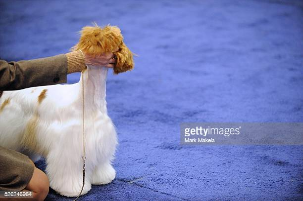 Spaniels compete during the ASC Flushing Spaniel Show at the Valley Forge Convention Center in King of Prussia Pennsylvania USA The annual contest is...
