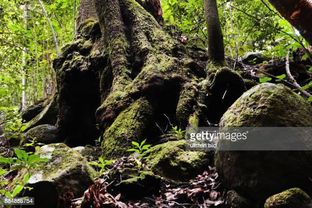 Spanien, Kanaren, La Palma: Baeume und Waelder der gruenen kanarischen Insel gedeihen eindrucksvoll.Lorbeerwald La Galga ESP, Spain, Canary Islands,...