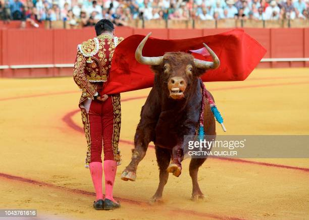 Spanish bullfighter Jose Maria Manzanares performs a pass with 'muleta' during a bullfight at the Real Maestranza bullring in Sevilla on September 30...