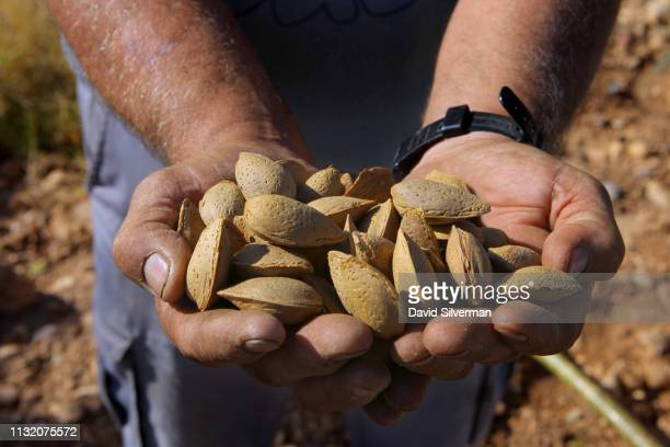 Spanish farmer collects handharvested almonds from his orchard on September 29 2018 in Quel in the province of La Rioja in Spain Spain is the second...