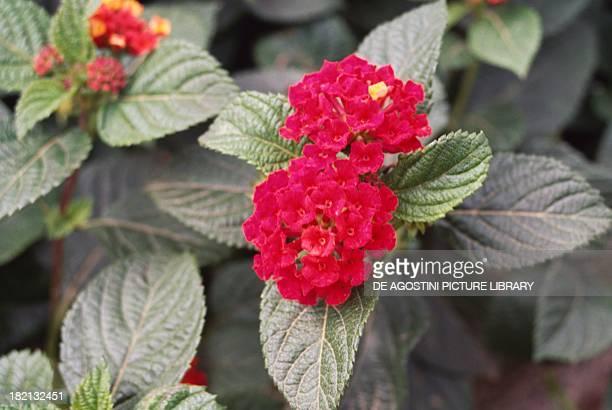Spanish flag or West Indian lantana Verbenaceae