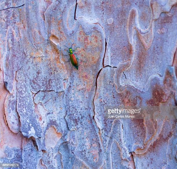 Spanish fly is an emerald-green beetle, Lytta vesicatoria, in the family Meloidae, the blister beetles. CANTÁRIDA (Lytta vesicatoria),  Insectos, Artropodos, Coleoptero, Fauna, PINO PIÑONERO - Stone pine (Pinus pinea), is also called the Italian stone pin