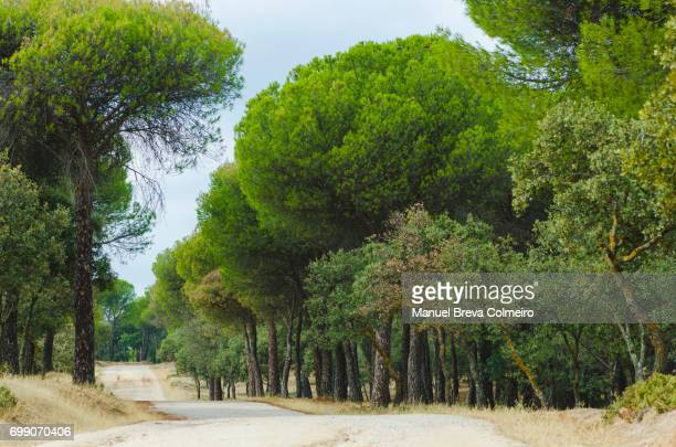 spanish forest - pine woodland stock pictures, royalty-free photos & images