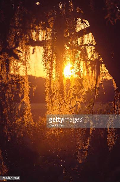 spanish gold - spanish moss stock pictures, royalty-free photos & images