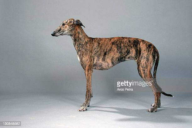 Spanish Greyhound, bitch Galgo Espanol