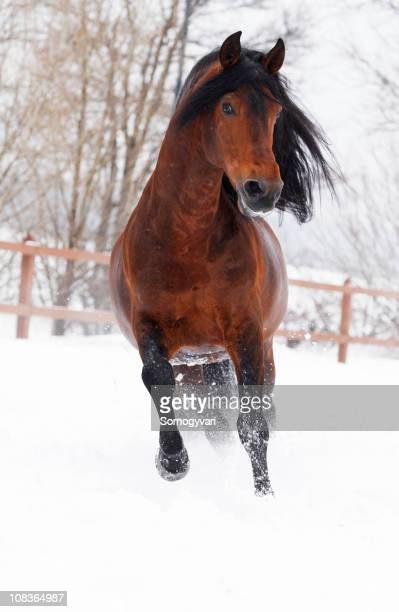 Spanish horse in the snow
