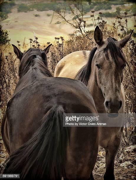 spanish horses - victor ovies fotografías e imágenes de stock