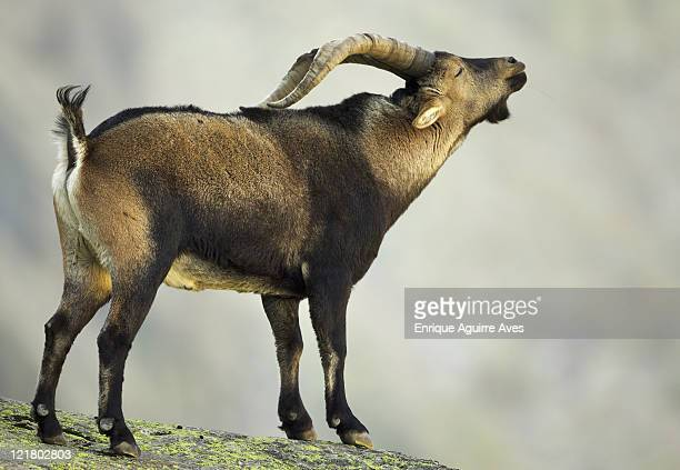 Spanish Ibex, Capra pyrenaica victoriae, flemming, Sierra de Gredos park, Spain