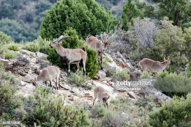 Spanish Ibex (Capra pyrenaica hispanica)
