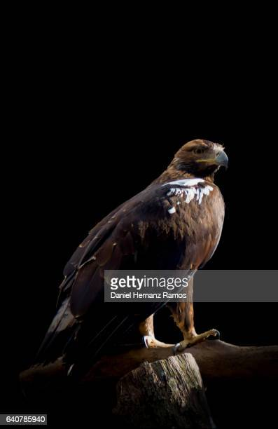 Spanish imperial eagle body with black background. Aquila adalberti